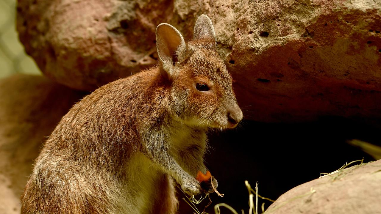 After five months of tender loving care Bunny, the orphaned baby spectacled hare-wallaby, is ready for release.