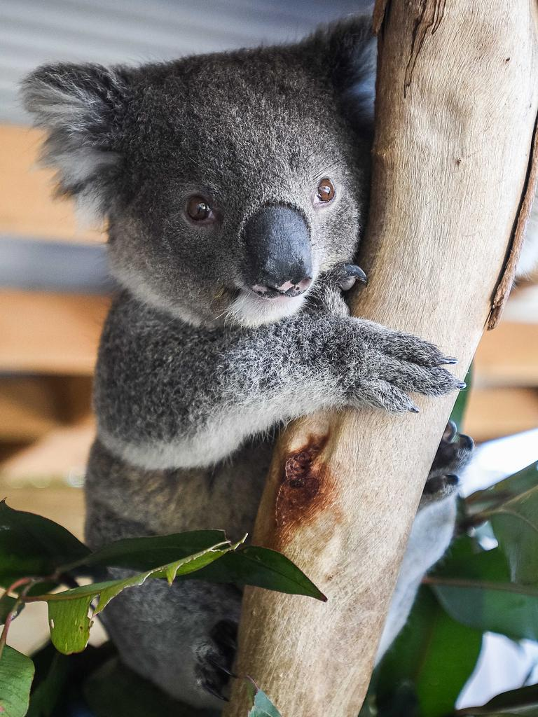 The extraordinary breakdown comes after months of attempts behind closed doors to reach a compromise on koala policy. Picture: NCA NewsWire