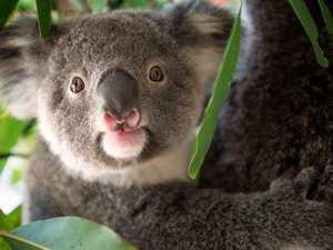VOICES FOR THE EARTH: Political furore over koalas
