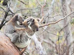 Do the Nationals want a 'last koala' park?