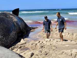 'MYSTERY': Sperm whale's death baffles marine expert