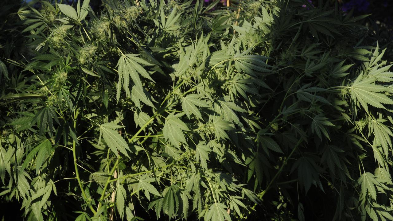 Generic photographs of cannabis plants / marijuana / dope / weed / drugs / addiction / abuse.