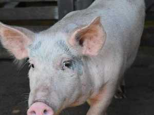 Animal activists call for piggery expansion to be rejected