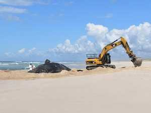 Why huge whale carcass will be taken to Lismore tip