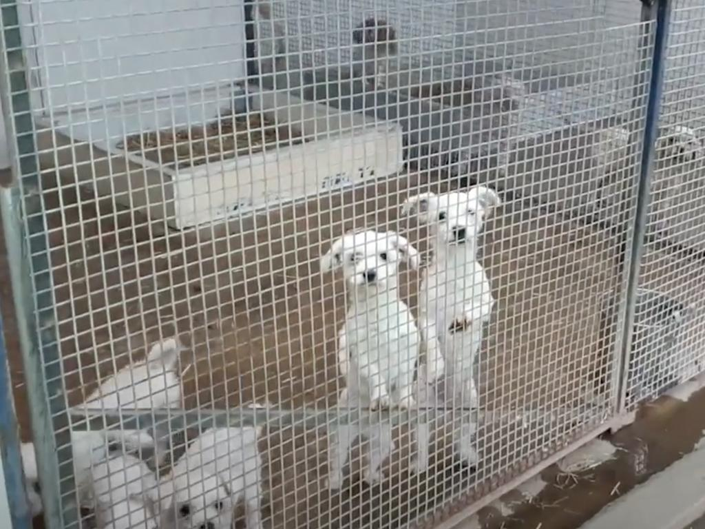 Puppies in cages at one of the puppy farms. Picture: Oscar's Law