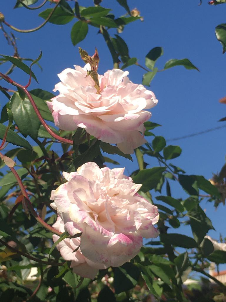 Neil Fisher's favourite rose is the Cecile Brunner, which forms a large rambling shrub with very few thorns.