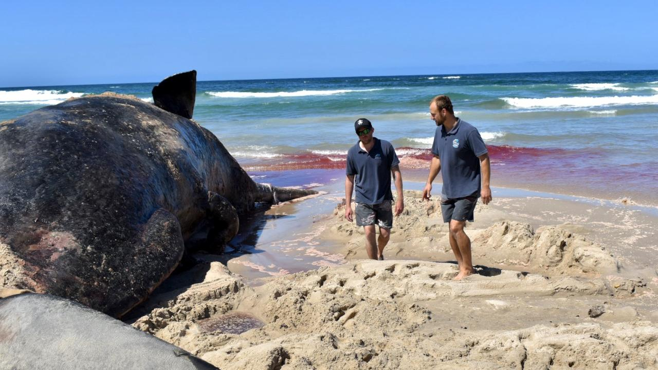 Dolphin Marine Rescue vet Duan March and wildlife officer Kieran Marshall inspect from Coffs Harbour inspect the sperm shale carcass at Patches beach.
