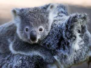 Crucial Coffs koala population 'healthy', studies reveal