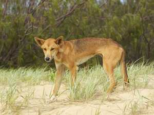 Confronting book: Dingo deaths inspire deep dive into plight