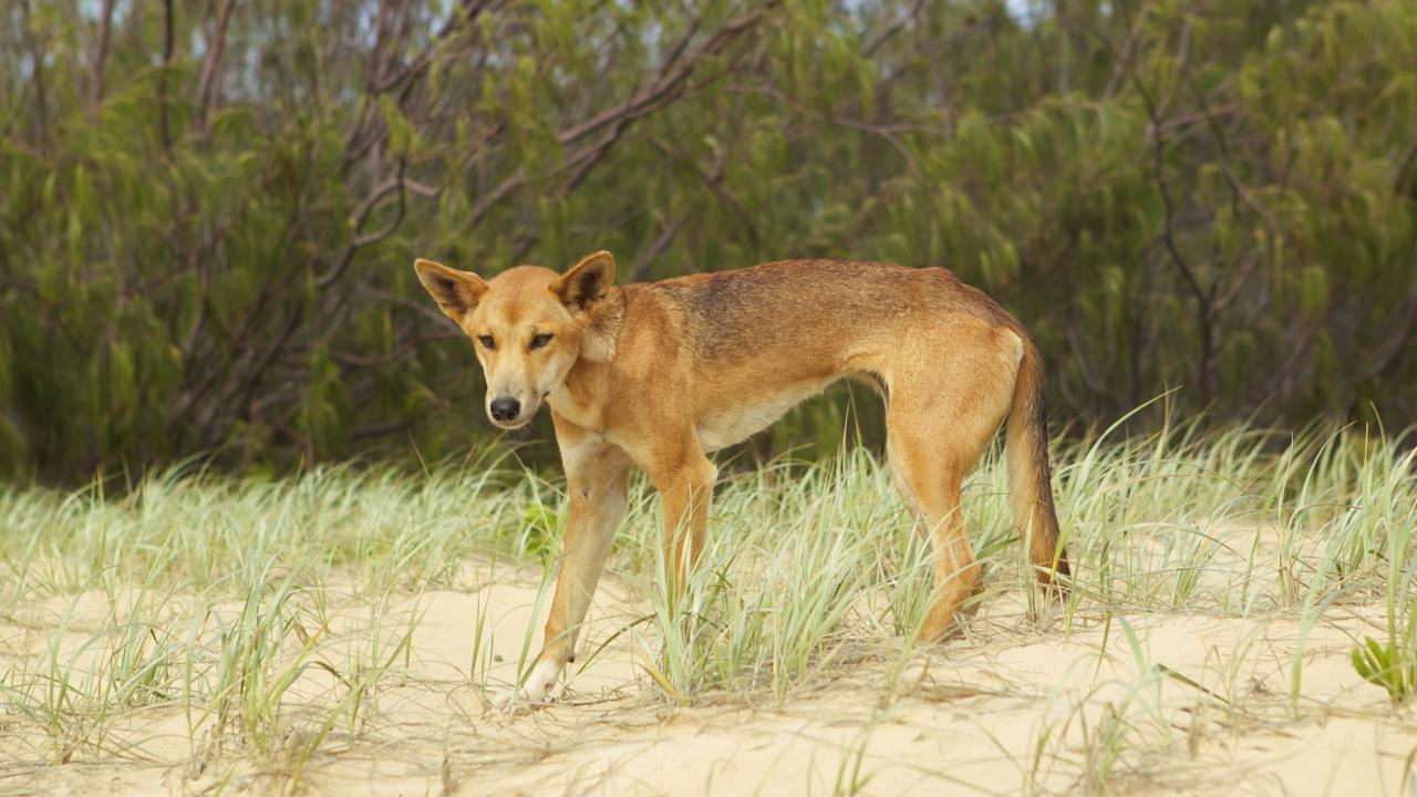 FRASER ISLAND: Wild dingoes on Fraser