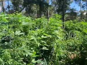 Thousands of cannabis plants seized near Coffs Harbour