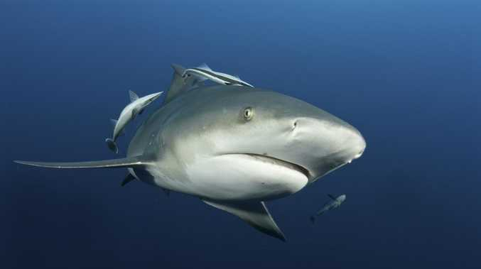 Holiday swimmers' close call with 3m bull shark