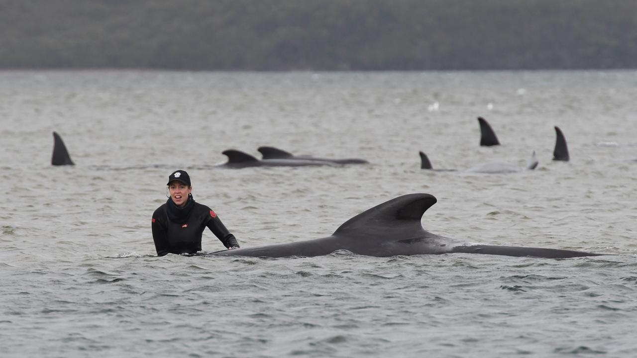 More than 200 pilot whales are stranded on a sandbank at Macquarie Harbour on the West Coast of Tasmania, with rescuers desperately trying to save the whales as more than 90 are feared dead. (Photo by Brodie Weeding/The Advocate - Pool/Getty Images)