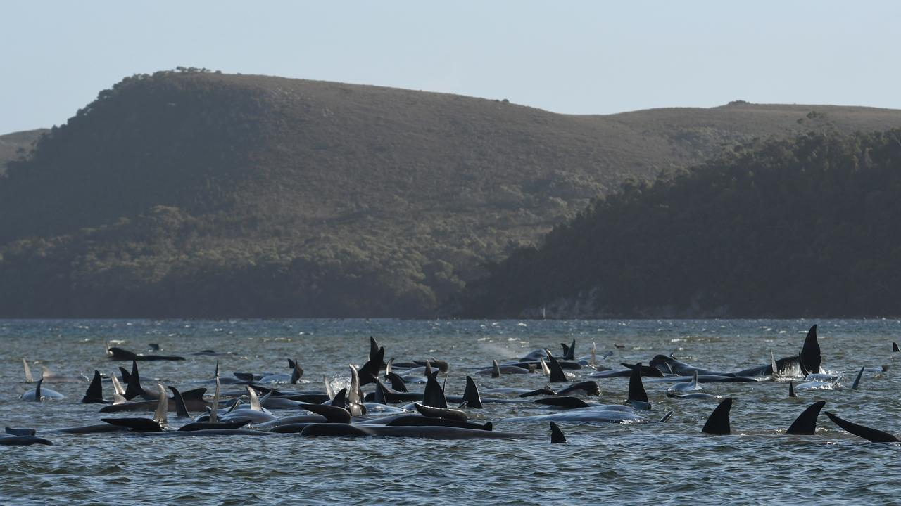 Whales stranded near Strahan Tasmania. Picture: BRODIE WEEDING/THE ADVOCATE