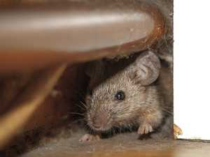 INFESTED: Rocky households battle 'aggressive mice plague'