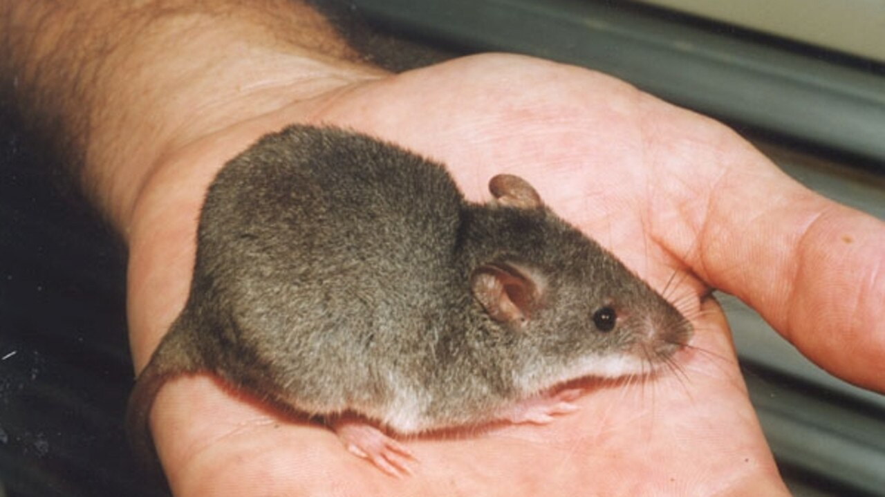 Some residents report at least 30 mice have been located at their Gracemere property.
