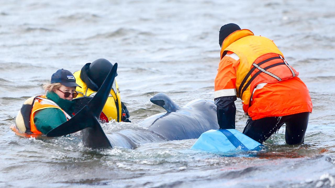 Rescuers from a range of organisations work to save some of the 470 pilot whales that became stranded in Macquarie Harbour at Strahan. Day 3. September 23, 2020. Picture: PATRICK GEE