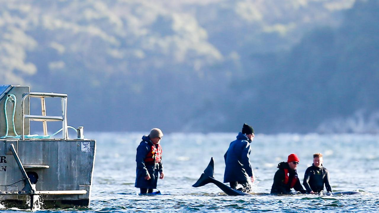 Rescuers attempt to save pilot whales stranded at Stahan. September 22, 2020. Picture: PATRICK GEE