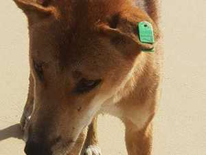 Dingo killed for biting child day after tourist interaction