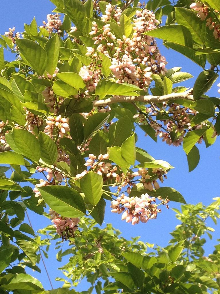 Millettia pinnata flowers