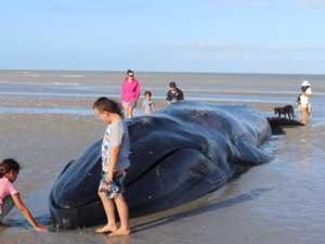 Cape York town fights to save beached whale