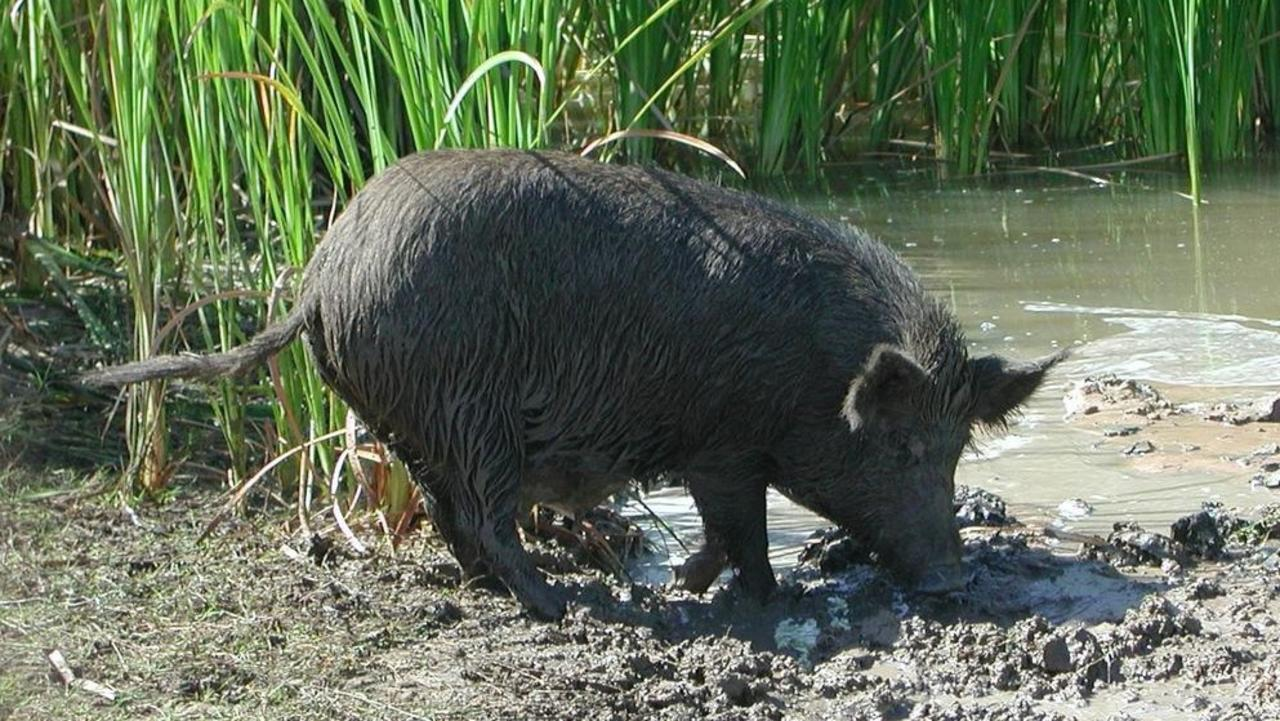 ROOTING AROUND: Feral pigs wreak havoc across the North and South Burnett. File Photo.