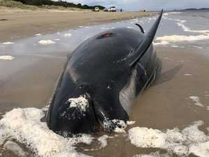 Four whales euthanised as rescuers try to save 20 more