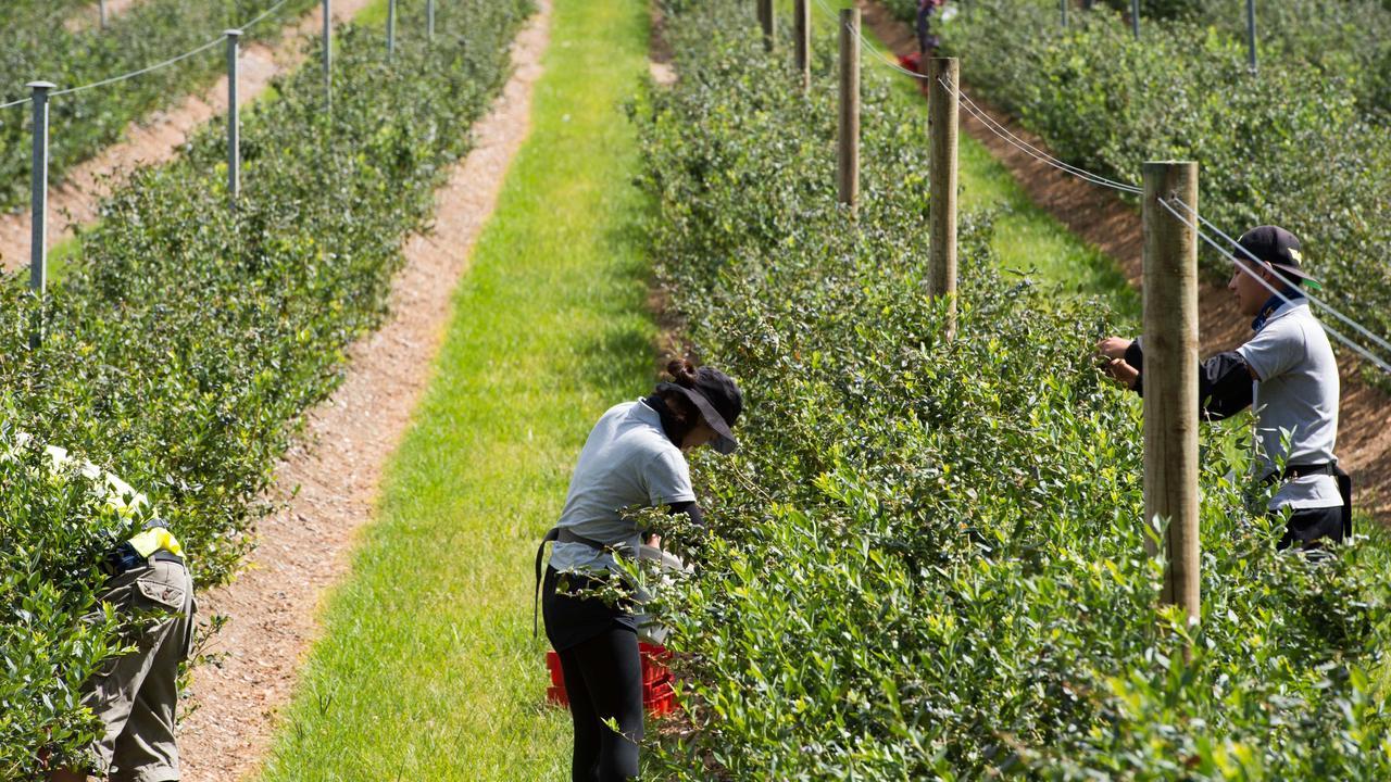 Blueberry pickers at a Corindi farm.