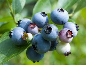 VOICES FOR THE EARTH: Action on Blueberry Industry