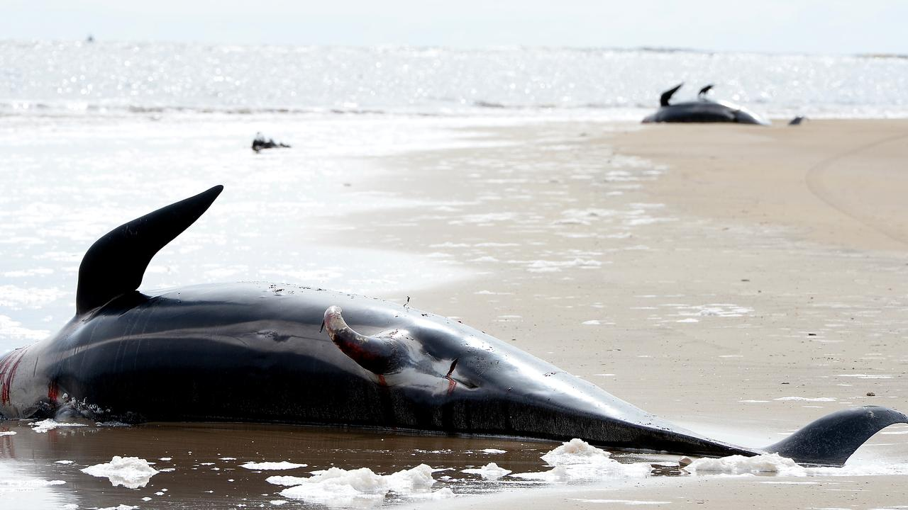 Tasmania's top scientists have collected data from the whales that died in last week's mass stranding, revealing some sad facts about the creatures.