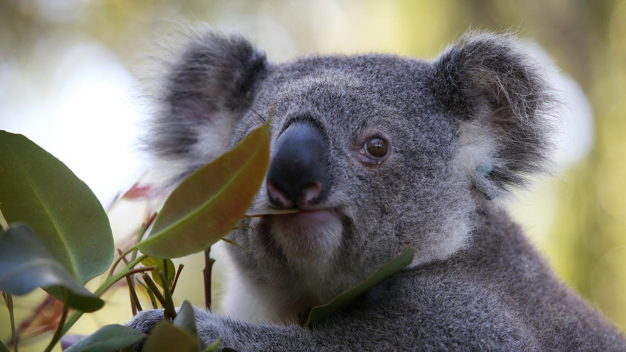 The matter of fencing to protect local koala populations was up for discussion at the recent Coffs Harbour City Council meeting. (Photo by Lisa Maree Williams/Getty Images)