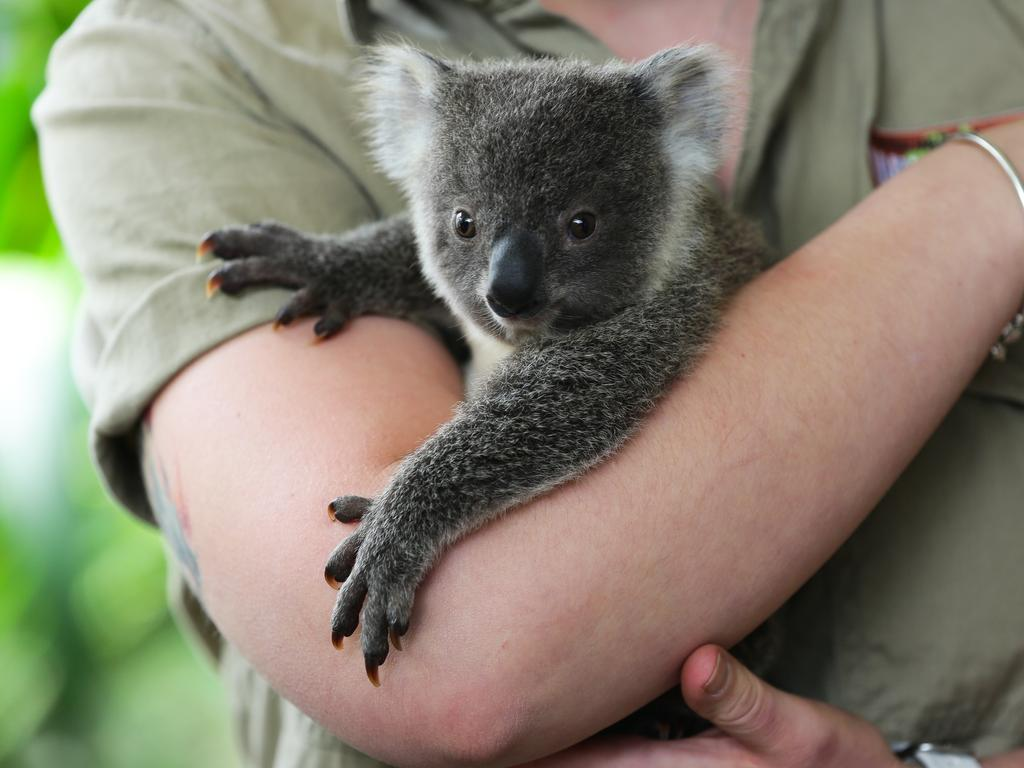 The koala joey is healthy and currently weighs about 800g. Picture: NCA Newswire/Gaye Gerard