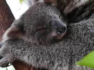 Baby koala photos that will melt your heart