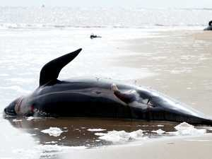 Sad revelation about dead whales from mass stranding