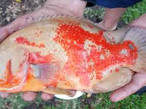 'Aggressive American' pest fish netted in Mackay