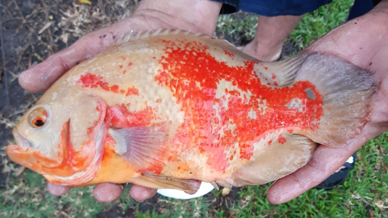 Samantha Bottomley caught this albino oscar, an aggressive South American pest, while fishing at The Gooseponds, near Sams Rd.
