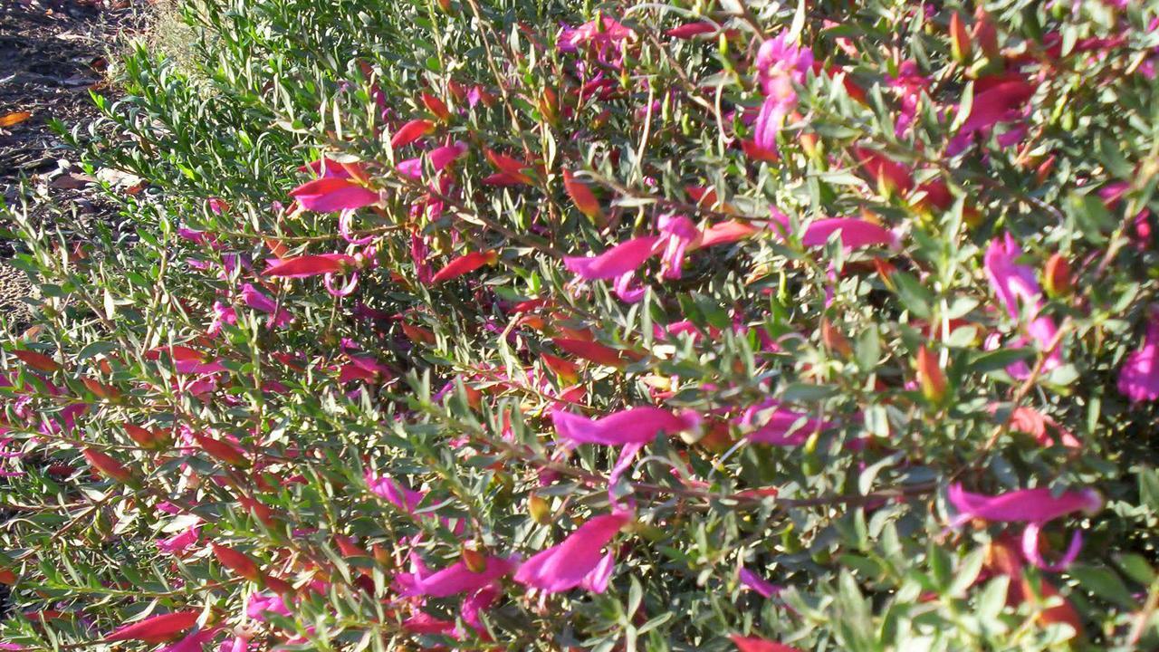 Eremophila glabra burgundy