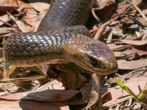 Woman bitten by snake in Gympie