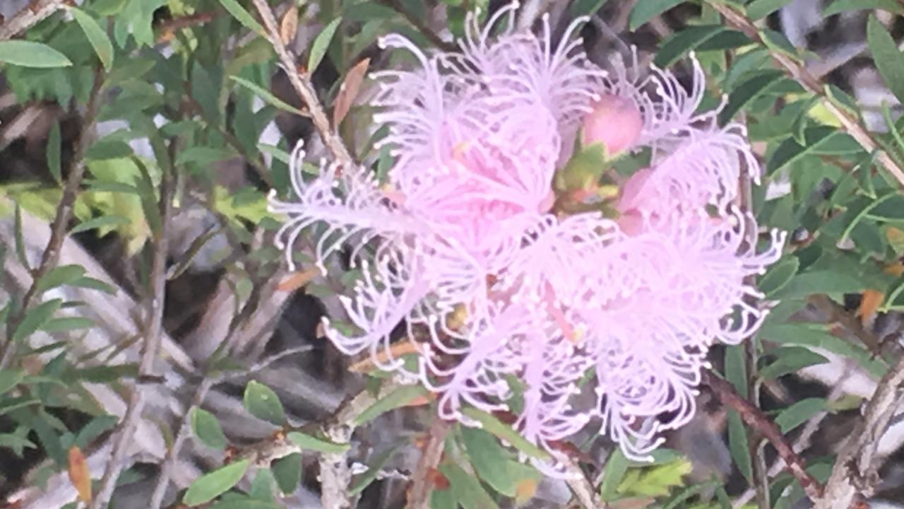 Melaleuca Pink Lace