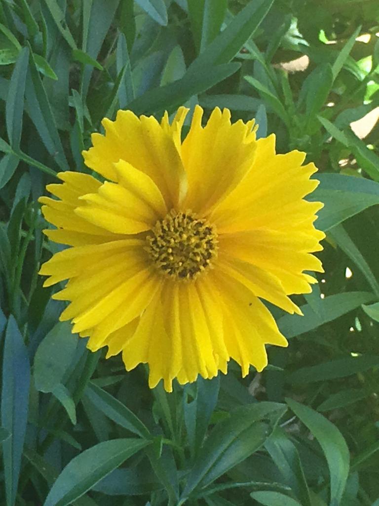 Coreopsis Sunray.