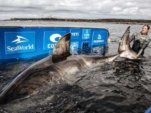 'Monster' great white shark caught