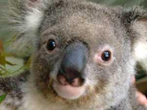 'Koala war' comes to an end
