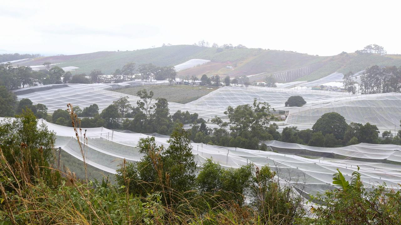 A blueberry farm north of Coffs Harbour. Pic: Lindsay Moller