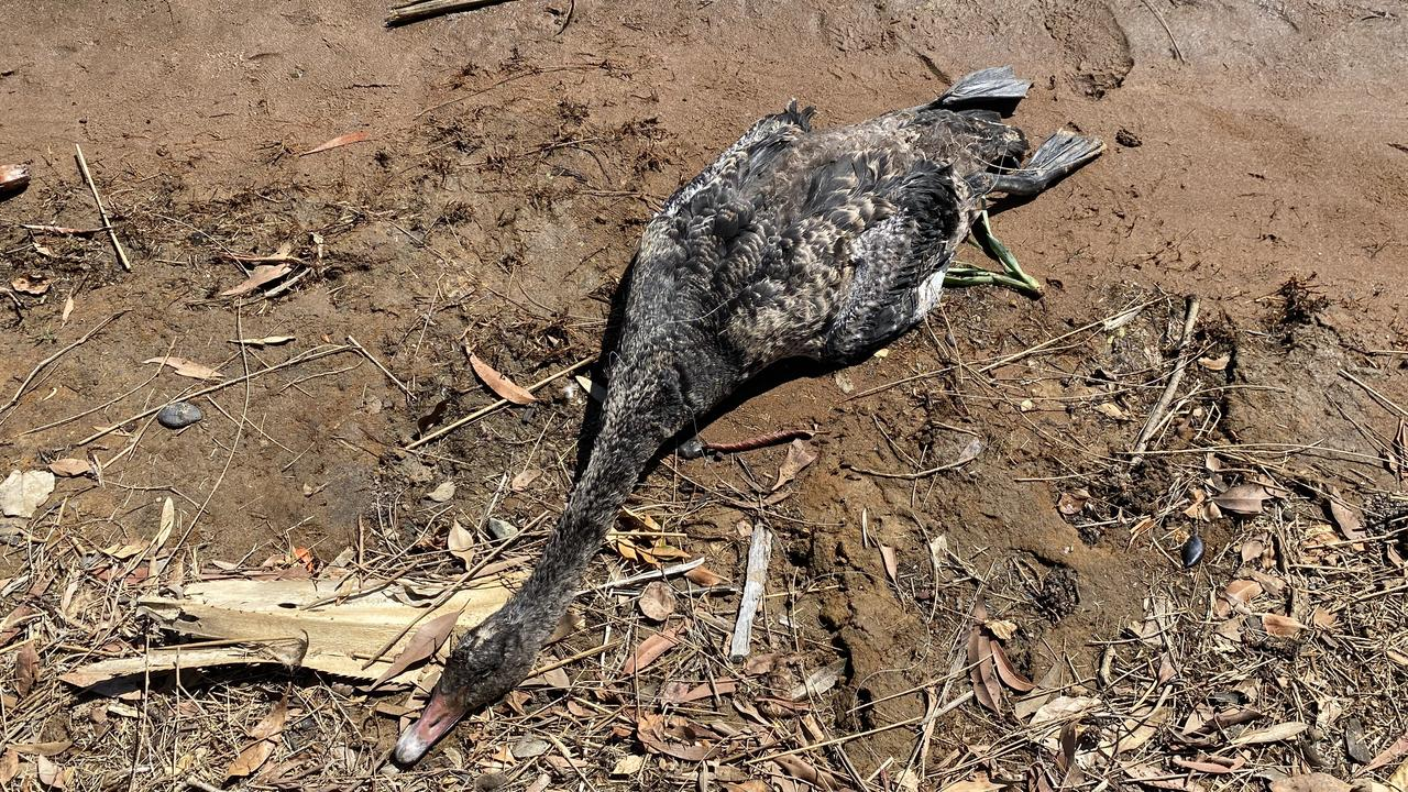 A Wurtulla woman is pleading with fishers to be more responsible after a baby swan was found dead, tangled in a fishing net this morning. Photo: Ashley Carter