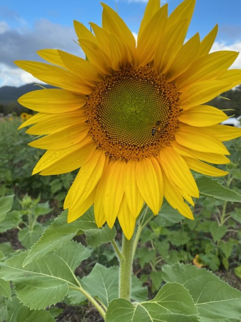 Freckle Farm owners Rob Bauman and Deb McLucas will open up their farm walks for the first time since coronavirus, on the weekend of October 10-11. For the first time the Eton farm tours will include sunflowers.