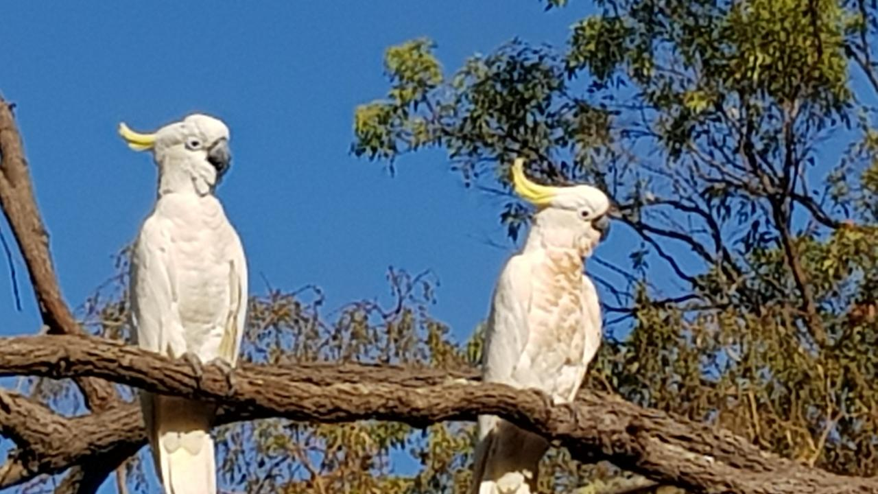 Cockatoos are part of a plan to brighten up the look and feel of a Central Queensland town.
