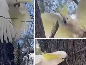VIDEO: Cocky vs goanna in epic tree battle