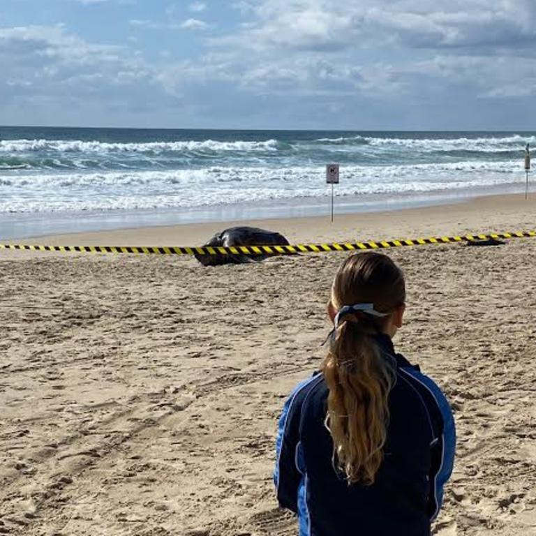 Eight-year-old Tiah Bouveng looks at a huge leatherback turtle that washed up dead at Mermaid Beach. Picture: Narelle Bouveng.