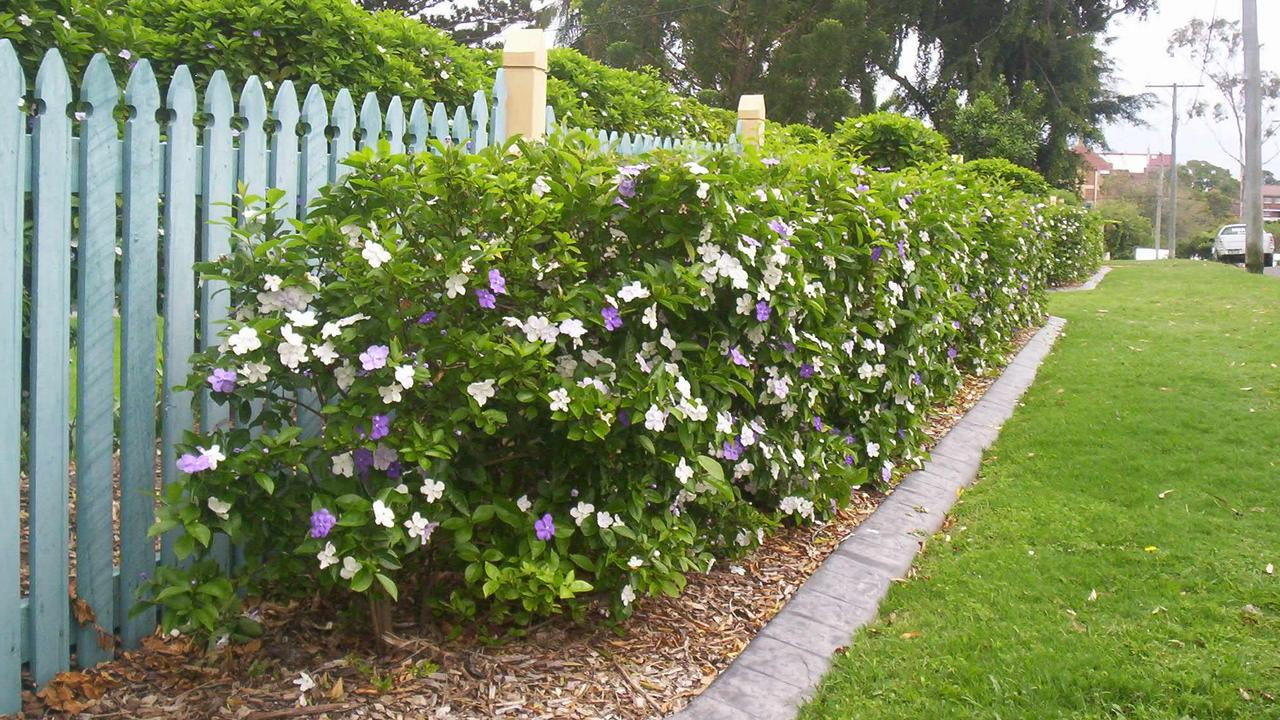 Brunfelsia latifolia Hedge