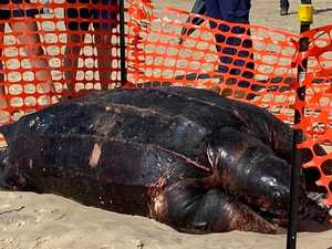 Giant turtle washes up on Gold Coast beach